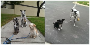 Day 4- Made it to the corner with my brothers. Got to visit w/next door doggy, Stella!